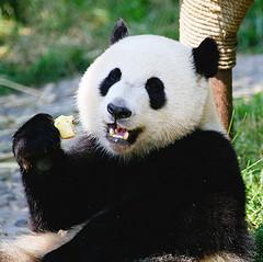 La storia del Panda